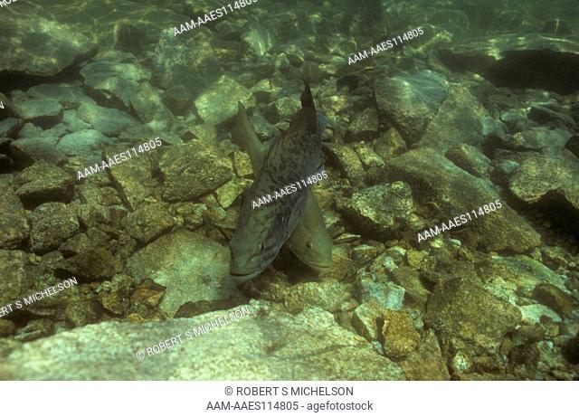 Smallmouth Bass spawning exhibiting crossover behavior, male on bottom, female darker coloration above, micropterus dolomieu, Lake Winnipesaukee, New Hampshire