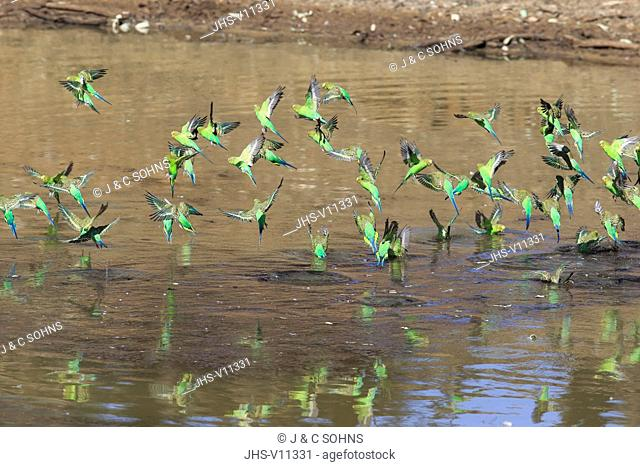 Budgerigar, (Melopsittacus undulatus), group flying over water, Sturt Nationalpark, New South Wales, Australia