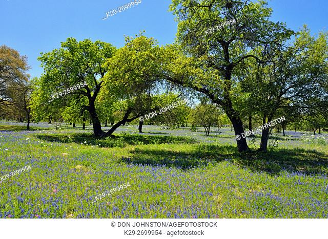 Oak trees and Texas wildflowers- paintbrush and bluebonnets, FM 476 near Somerset, Texas, USA