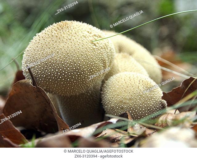 Spiny puffball mushroom (Lycoperdon echinatum). Montseny Natural Park. Barcelona province, Catalonia, Spain