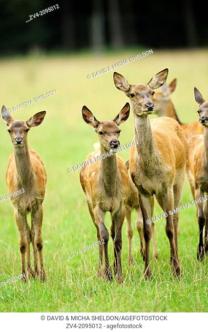 Close-up of a red deer (Cervus elaphus) mother with her two calfs