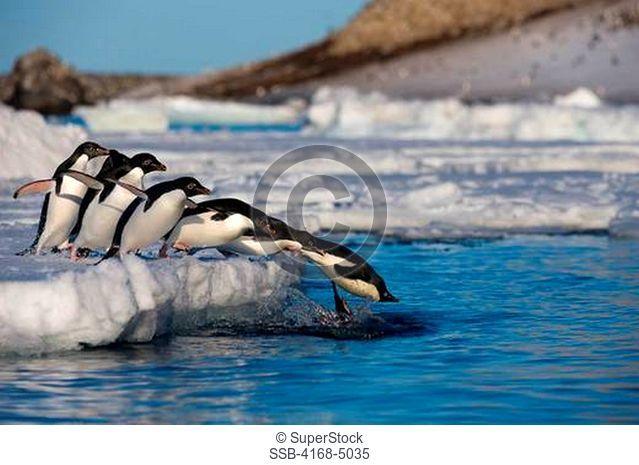 antarctica, antarctic peninsula, paulet island, adelie penguins pygoscelis adeliae on icefloe, jumping into water