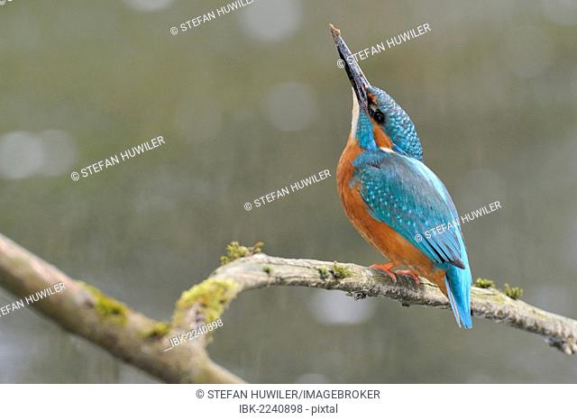 Common kingfisher (Alcedo atthis) perched on a branch, Cham, Switzerland, Europe