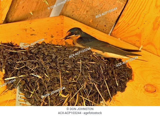 Barn swallow (Hirundo rustica) Adults constructing mud nest in pavilion rafters, Sandstone, Minnesota, USA