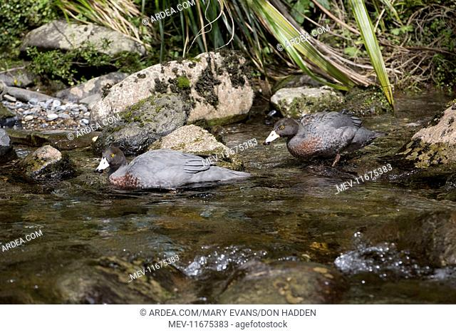 Blue Duck / Whio pair endemic species restricted to fast flowing mountain streams declining in most places, classified as 'threatened' Courthouse Flat area