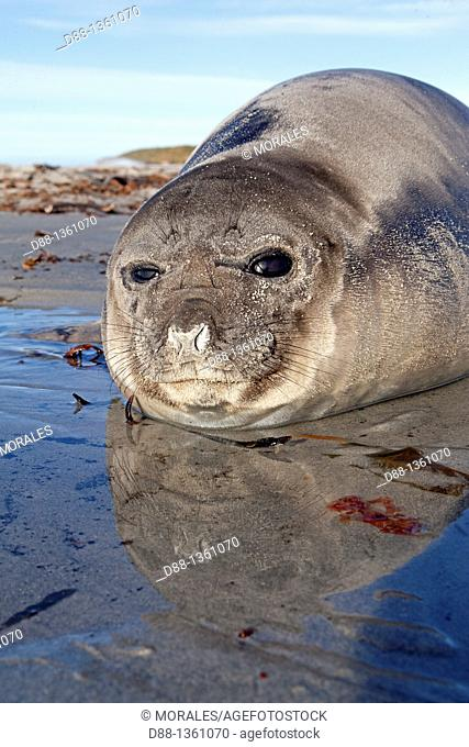 Falkland Islands , Sea LIon island , Southern Elephant Seal Mirounga leonina , baby