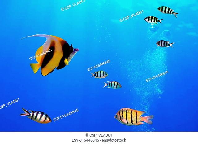 Pennant coralfish (Heniochus acuminatus)