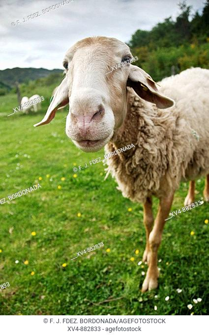 Assaf sheep, raised for producing milk to make cheese. Ansó, Huesca province, Spain