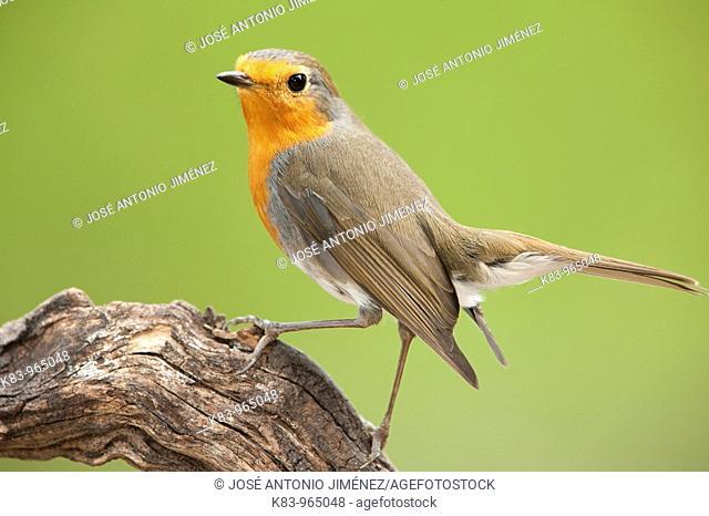 European robin (Erithacus rubecula), Sierra de Andújar, Jaen Province, Andalusia, Spain