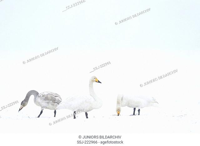 Whooper Swan (Cygnus cygnus) adults and cygnet during a snow storm, Schleswig-Holstein, Germany