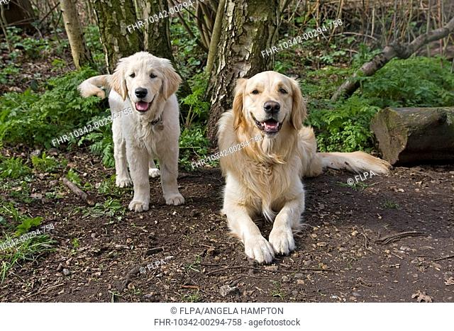 Domestic Dog, Golden Retriever, adult and puppy, in woodland, England, spring