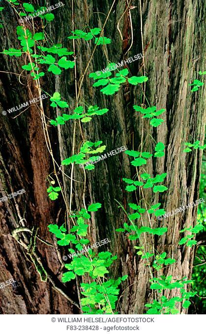 Poison Oak (Toxicodendron diversilobum) and Redwood tree (Sequoia sempervirens). Humboldt Redwoods State Park. California. USA