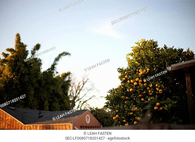 View from below of orange tree and house