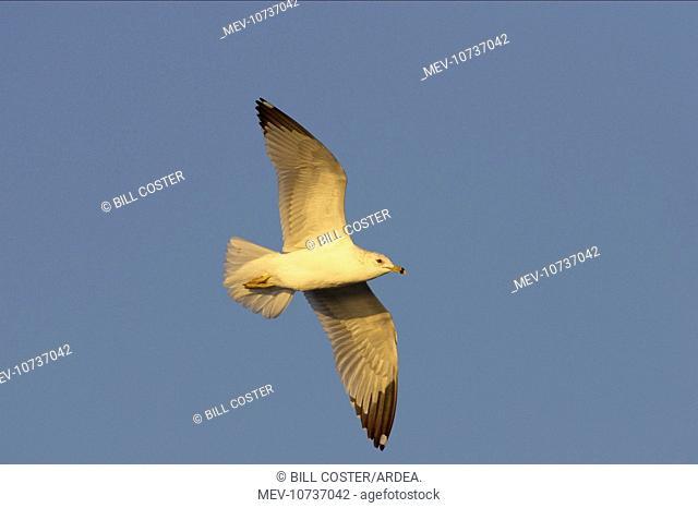 Ring-Billed Gull - in flight (Larus delawarensis)
