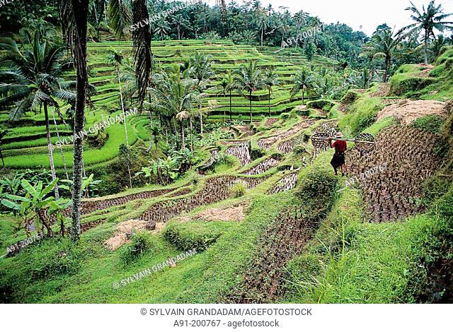 Rice fields near Ubud. Bali. Indonesia