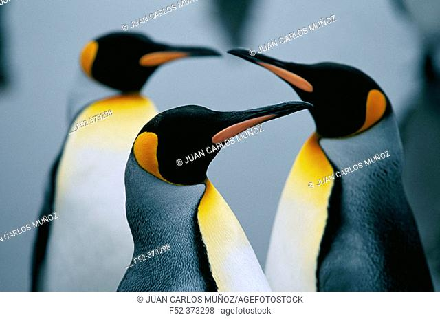 King Penguins (Aptenodytes patagonica). Island of South Georgia