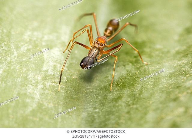 Ant mimicking spider, Myrmarachne plataleoides, Bangalore, Karnataka. MimicstheKerenggaorweaver ant. India, Sri Lanka