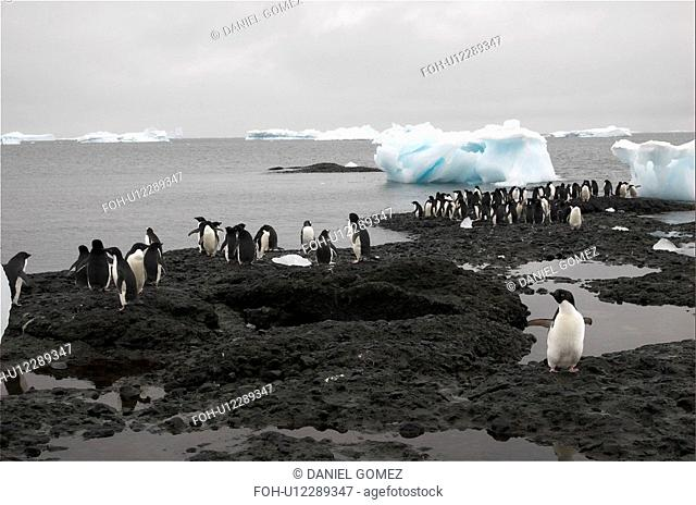Adelie penguins Pygoscelis adeliae resting on the shores just next to their colony, Brown Bluff, Antarctic Peninsula