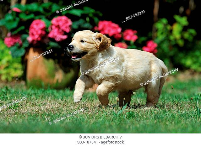 Golden Retriever. Puppy running on lawn with flowering Hydrangea in background. Germany