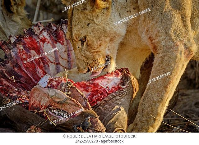 Masai lion or East African lion (Panthera leo nubica syn. Panthera leo massaica) feeding on a African buffalo or Cape buffalo (Syncerus caffer)