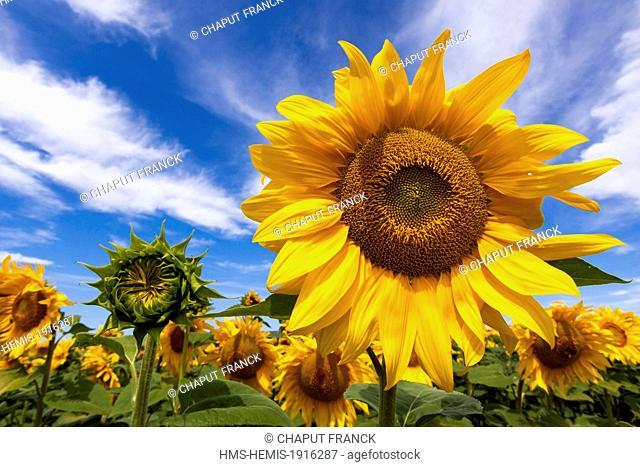 France, Alpes de Haute Provence, Parc Naturel Regional du Verdon (Natural Regional Park of Verdon), near Valensole, sunflowers (Helianthus annuus)