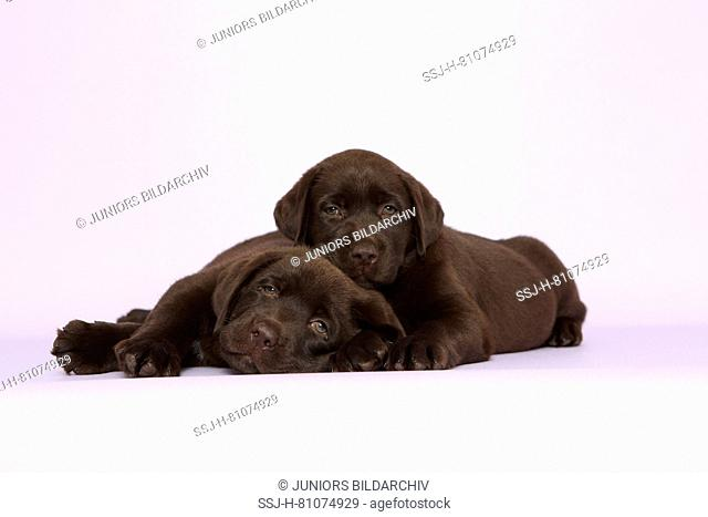 Labrador Retriever, Chocolate Labrador. Two brown puppies (7 weeks old) lying next to each other. Studio picture against a pink background. Germany