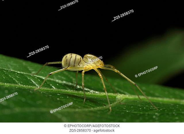 Spitting spider, Scytodidae , Aarey Milk Colony , INDIA. Spitting spiders are members of the spider family Scytodidae. There are several genera