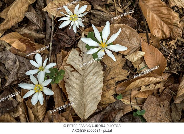 Bloodroot (Sanguinaria canadensis) wildflowers on forest floor, Fernbank Forest, Atlanta, Georgia. Fernbank Forest is a 65-acre urban old-growth Piedmont forest...
