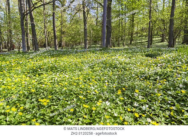 Yellow anemone and wood anemone in forest in spring time, Södermanland, Sweden