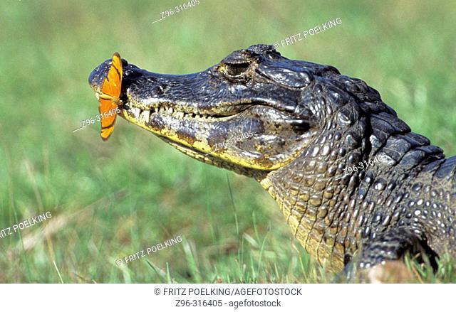 Yacare Caiman (Caiman crocodylus yacare) and Flambeau butterfly (Dryas julia). Pantanal, Brazil