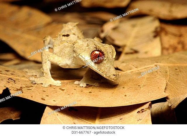 Spear-point leaf-tailed gecko (Uroplatus ebenaui) near Diego Suarez, northern Madagascar