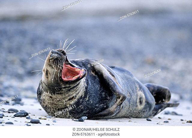 Kegelrobbenbulle ruht gaehnend am Strand / Grey Seal bull yawning on the beach - (Gray Seal - Horsehead Seal) / Halichoerus grypus