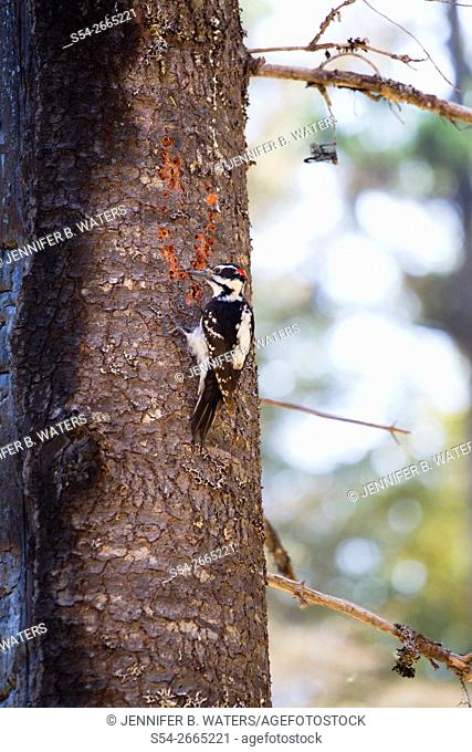 A male Hairy Woodpecker looks for bugs on a half-burned tree the year after a forest fire in the Coeur d'Alene National Forest, Idaho