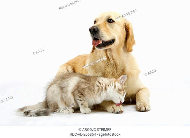 Golden Retriever and Norwegian Forest Cat