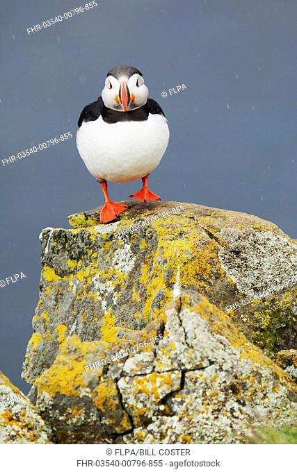 Atlantic Puffin (Fratercula arctica) adult, breeding plumage, standing on lichen covered rock during rainfall, Latrabjarg, Iceland, June