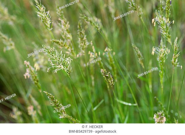 Sweet vernal-grass, Sweetscented vernal grass (Anthoxanthum odoratum), blooming in a meadow, Germany
