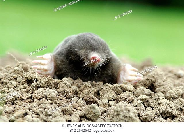 European or Common Mole Talpa europaea, Belgium