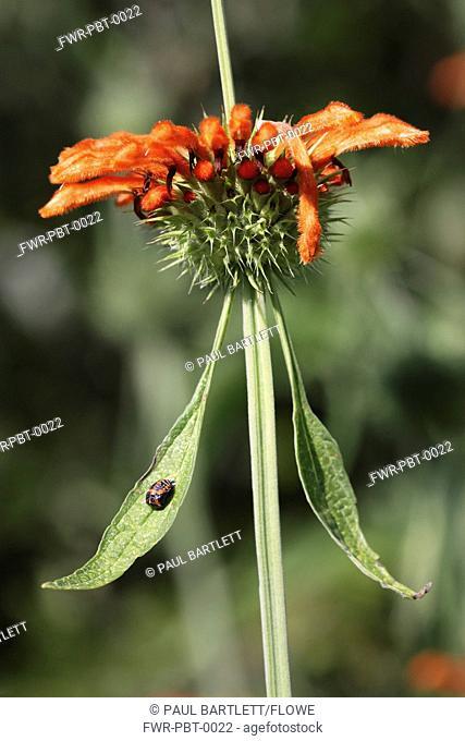 Leonotis leonurus, Wild dagga, Orange subject