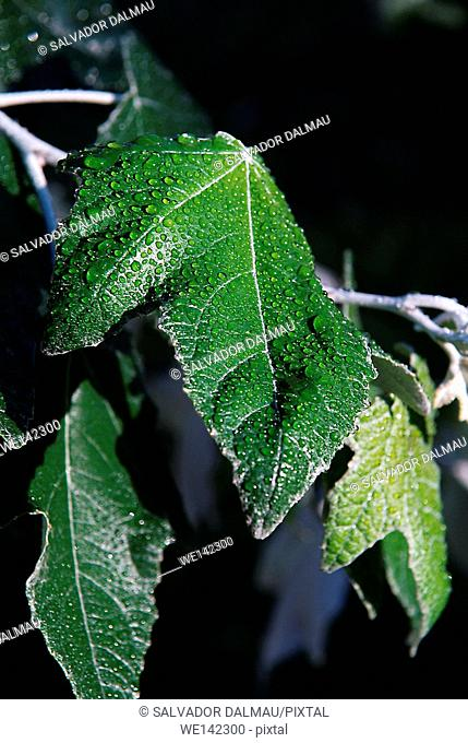 photography studio,water drops on tree leaves,cooling effect,location girona,catalonia,spain,europe,