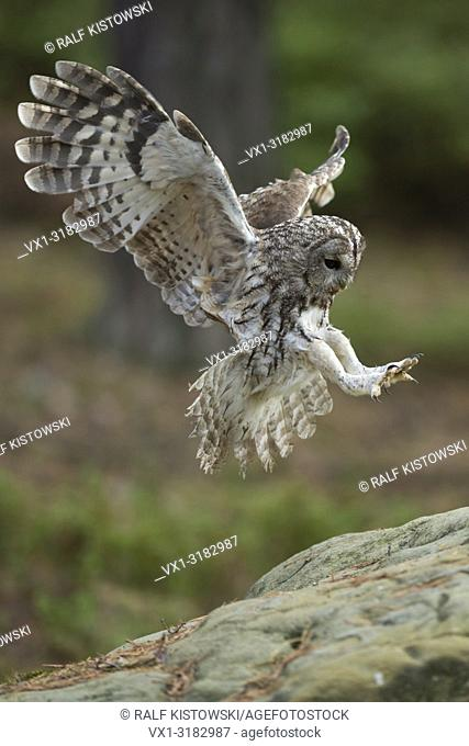 Tawny Owl ( Strix aluco ) in flight, flying, landing on a rock, wide open wings, stretched wings, side view, angel-like pose