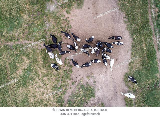 Shot looking directly down of a group holstein diary cows in field, Tifton, Georgia. USA