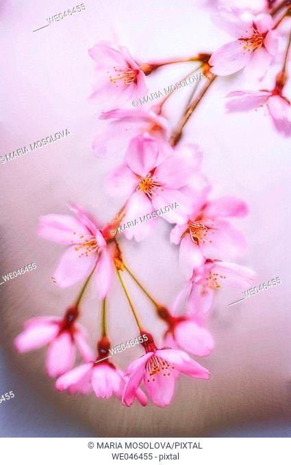Cherry Blossom. Prunus serrulata , April 2006. Maryland, USA