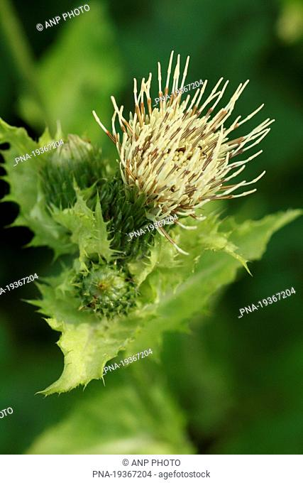 Cabbage Thistle Cirsium oleraceum - Lissendorf, Eifel, Rhineland-Palatinate, Rheinland-Pfalz, Germany, Europe