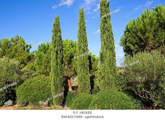 Italian cypress (Cupressus sempervirens), columnar cypresses, Italy
