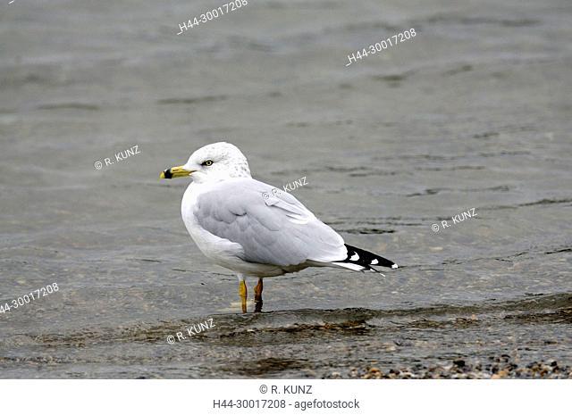 Ring-billed Gull, Larus delawarensis, Laridae, Gull, bird, animal, Banff National Park, Alberta, Canada