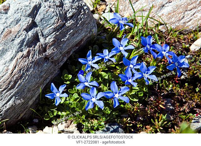 The Spring Gentian or Gentiana Verna is one of the most widespread gentians, found on sunny alpine meadows and moorland, Lombardy Italy Europe