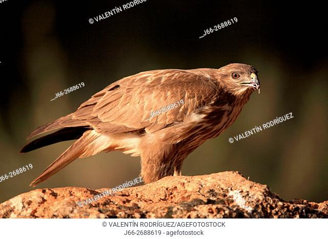 Buzzard (Buteo buteo) in the low mountains of Cuenca