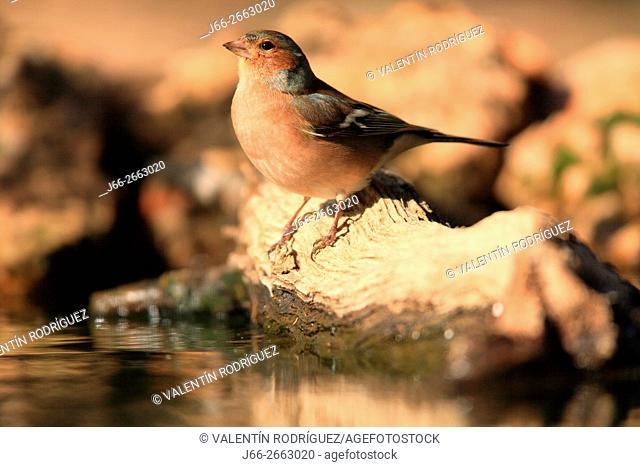Finch (Fringilla coelebs) in the region of the Manchuela. Cuenca