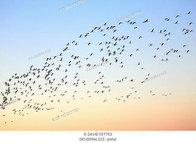 Flock of flamingos (phoenicopterus roseus) flying overhead at dawn, Putzu Idu, Sardinia, Italy