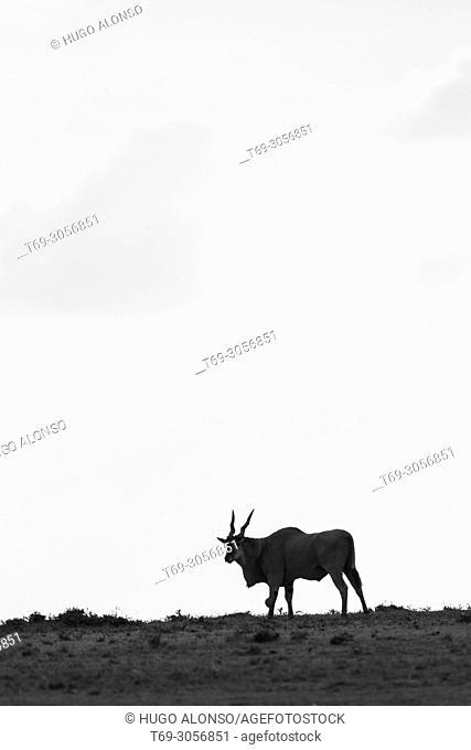 Common eland silhouette. Taurotragus oryx. Kenia. Africa